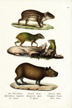 Capybara, 1824 by Karl Joseph Brodtmann