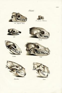 Carnivores Skulls, 1824 by Karl Joseph Brodtmann