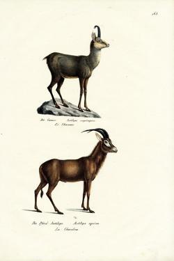 Chamois, 1824 by Karl Joseph Brodtmann
