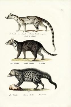 Civet, 1824 by Karl Joseph Brodtmann
