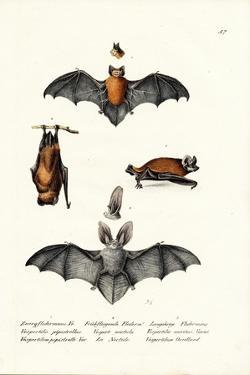 Common Pipistrelle, 1824 by Karl Joseph Brodtmann