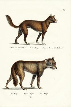 Dingo, 1824 by Karl Joseph Brodtmann