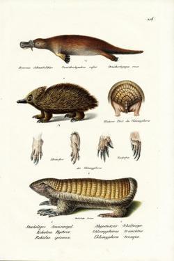 Duckbilled Platypus, 1824 by Karl Joseph Brodtmann