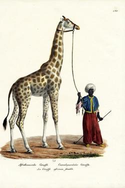 Giraffe, 1824 by Karl Joseph Brodtmann