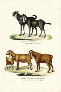 Goat, 1824 by Karl Joseph Brodtmann