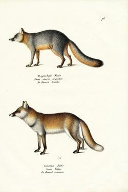 Grey Fox, 1824 by Karl Joseph Brodtmann