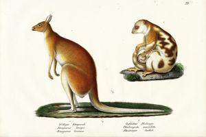 Kangaroo, 1824 by Karl Joseph Brodtmann
