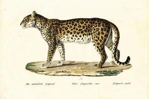Leopard, 1824 by Karl Joseph Brodtmann