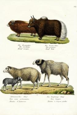 Musk Ox, 1824 by Karl Joseph Brodtmann