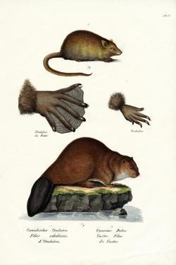 Muskrat, 1824 by Karl Joseph Brodtmann