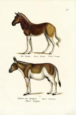Quagga, 1824 by Karl Joseph Brodtmann