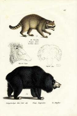 Raccoon, 1824 by Karl Joseph Brodtmann