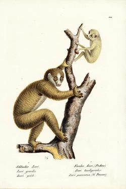Slender Loris, 1824 by Karl Joseph Brodtmann