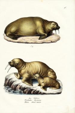 Walrus, 1824 by Karl Joseph Brodtmann