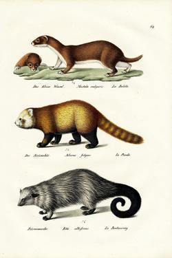 Weasel, 1824 by Karl Joseph Brodtmann
