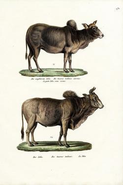 Zebus, 1824 by Karl Joseph Brodtmann