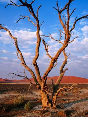 Dead Thorn Tree with Giant Sand Dunes in Distance, Near Sossusvlei by Karl Lehmann
