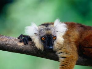Female Black Lemur (Eulemur Macaco Macaco) on Branch, Antsiranana, Madagascar by Karl Lehmann