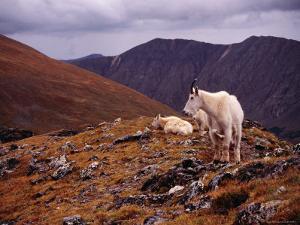 Front Range Mountain Goats on Gray's Peak in the Rockies by Karl Lehmann