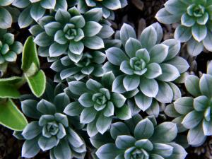 Hinahina (Heliotropium Anomalum Var Argenteum), Indigenous Hawaiian Plant by Karl Lehmann