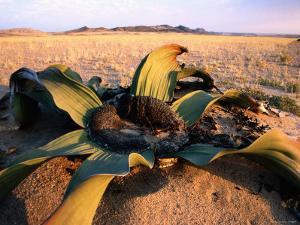 Welwitschia Mirabilis Plant at Sunset by Karl Lehmann