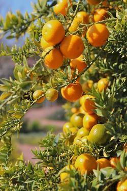 Orange on Tree by Karol Franks