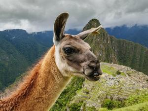 Llama in Machu Picchu, Cusco Region, Peru, South America by Karol Kozlowski