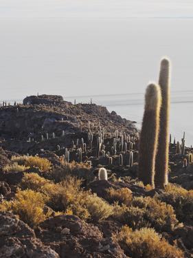 View of Incahuasi Island with its gigantic cacti, Salar de Uyuni, Daniel Campos Province, Potosi De by Karol Kozlowski