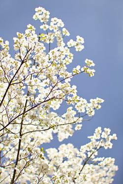 Blossoms III by Karyn Millet