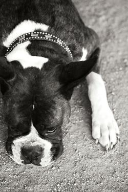 Boxer Black and White by Karyn Millet