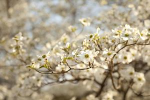 Cherry Blossoms II by Karyn Millet