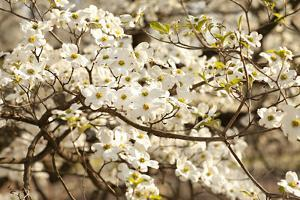 Cherry Blossoms III by Karyn Millet