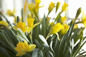 Daffodil Bouquet by Karyn Millet