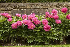 Garden Peonies II by Karyn Millet