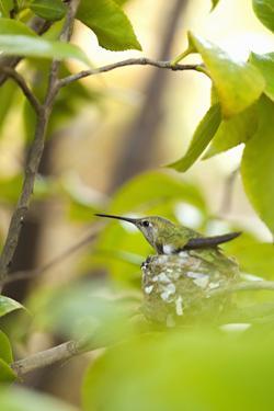 Hummingbird by Karyn Millet