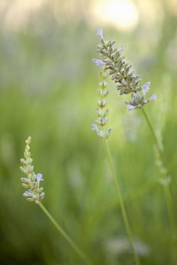 Lavender II by Karyn Millet