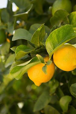 Lemon Grove III by Karyn Millet