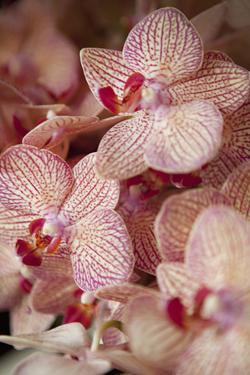 Orchid II by Karyn Millet