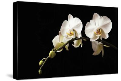 Orchid on Black by Karyn Millet