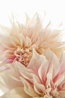 Pink Dahlia II by Karyn Millet
