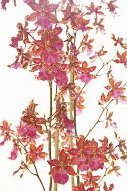 Pink Orchid II by Karyn Millet