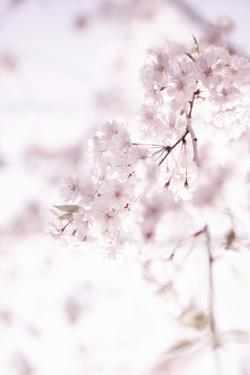 Soft Blooms II by Karyn Millet