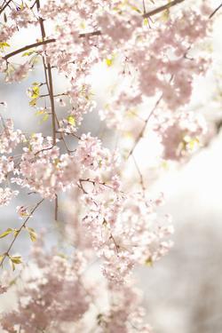 Soft Blooms V by Karyn Millet