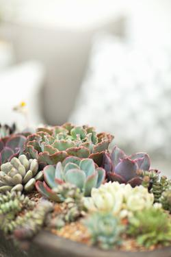 Succulents by Karyn Millet