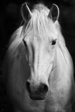 White Horse'S Black And White Art Portrait by kasto