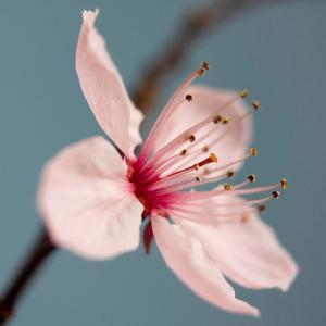 Cherry Blossom by Kate Diamond