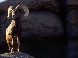 Desert Big Horn Sheep Stepping onto Rock Outcrop by Kate Thompson