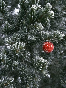 Holiday Ornament Hanging on Snow Dusted Pinion Tree, Colorado by Kate Thompson