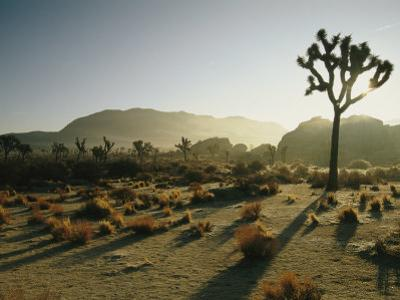 Silhouetted Joshua Trees at Twilight in the Desert