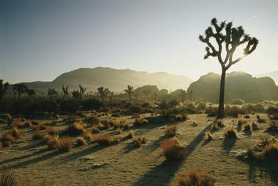 Silhouetted Joshua Trees at Twilight in the Desert by Kate Thompson